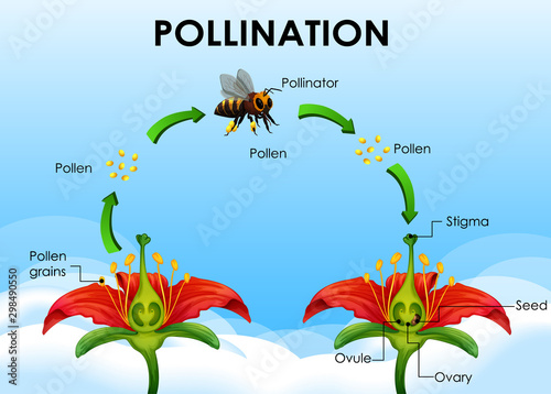Diagram showing pollination cycle Wallpaper Mural