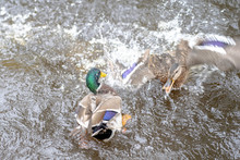 Ducks Fighting With Each Other On The Water. Taken In Autumn In The Riga Latvia