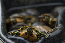 Pond Of Turtles In A Black Market Waiting To Be Sold. Turtle Meat. Illegal Trading In Asia