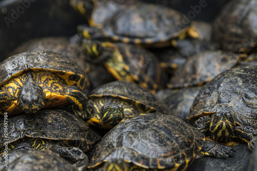Fotografia Pond of turtles in a Black Market waiting to be sold