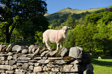Adventurous Lamb On Top Of A Drystone Wall At Rydal Ambleside Cumbria In The Lake District National Park England