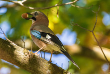 A  Jay In Its Beak Holds An Acorn. A Colorful Eurasian Jay Sits On A Thick Oak Branch. Close-up. Autumn. Natural Blurred Background.  Wild Nature.