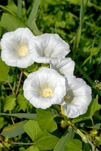 Close-up Of Five White Flowers Of A Hedge Bindweed
