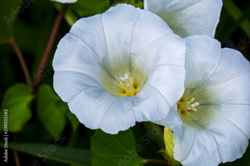 Fotografía Close-up of two white flowers of a hedge bindweed