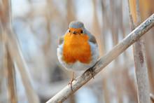 Wild Bird, European Robin (Eri...