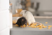 Rats Near Open Container With ...