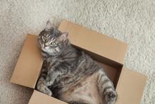 Cute Grey Tabby Cat In Cardboa...