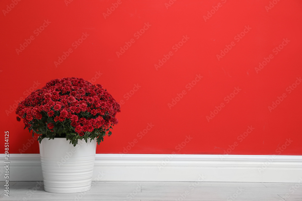 Fototapety, obrazy: Pot with beautiful chrysanthemum flowers on floor against red wall. Space for text