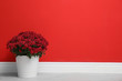 canvas print picture - Pot with beautiful chrysanthemum flowers on floor against red wall. Space for text