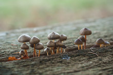 Closeum Of Small Mushrooms In Wooden Picnic Table In The Forest