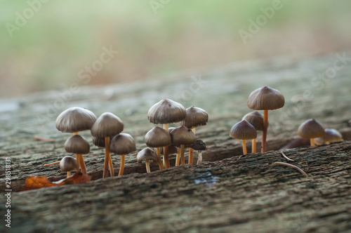 Fotografie, Tablou closeum of small mushrooms in wooden picnic table in the forest