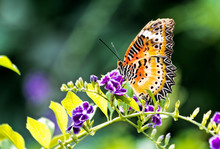 Orange And Yellow Butterfly On Purple Flowers