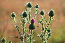 Cirsium Vulgare On The Dawn, S...