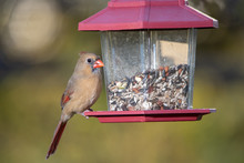 Female Northern Cardinal At Feeding Station