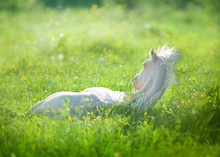 Little Akhal-teke Foal Laying ...
