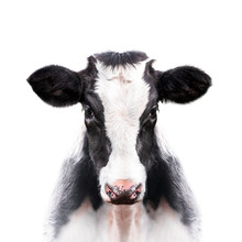 Calf Portrait Isolated On Whit...