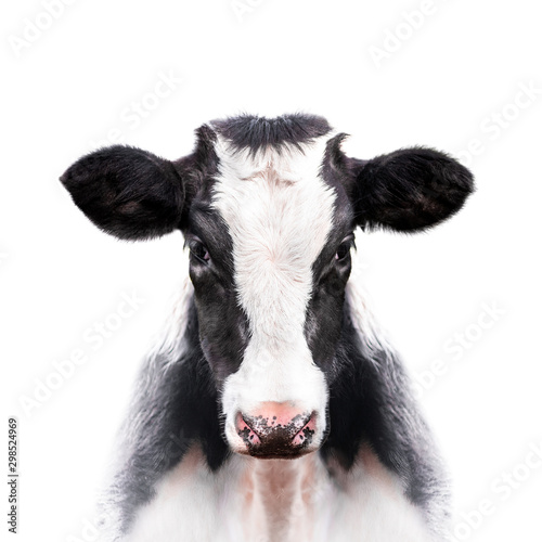 Foto calf portrait isolated on white background