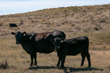 Black Angus Cow And Her Calf L...