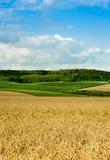 Fototapeta Landscape - beautiful landscape of wheat field, ears and hills