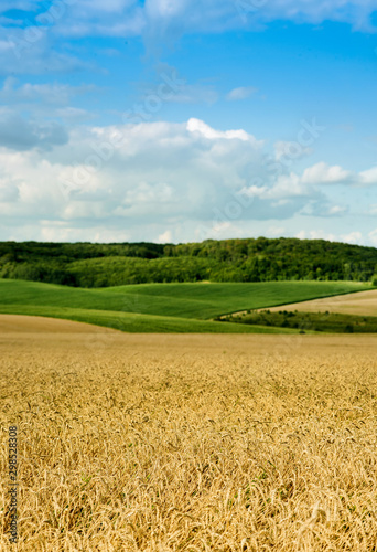 Obraz beautiful landscape of wheat field, ears and hills - fototapety do salonu