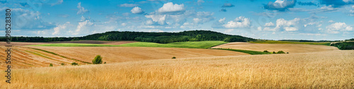 Obraz big panoramic view of landscape of wheat field, ears and yellow and green hills - fototapety do salonu