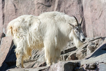 Mountain Goat With Long White ...