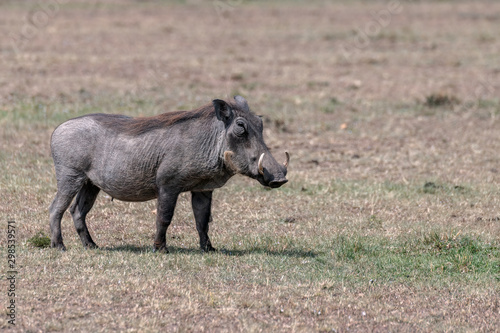 Photo  Large adult warthog standing in a clearing