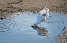 The Great Black-backed Gull (Larus Marinus) Is Drinking Water From Puddle On Asphalt