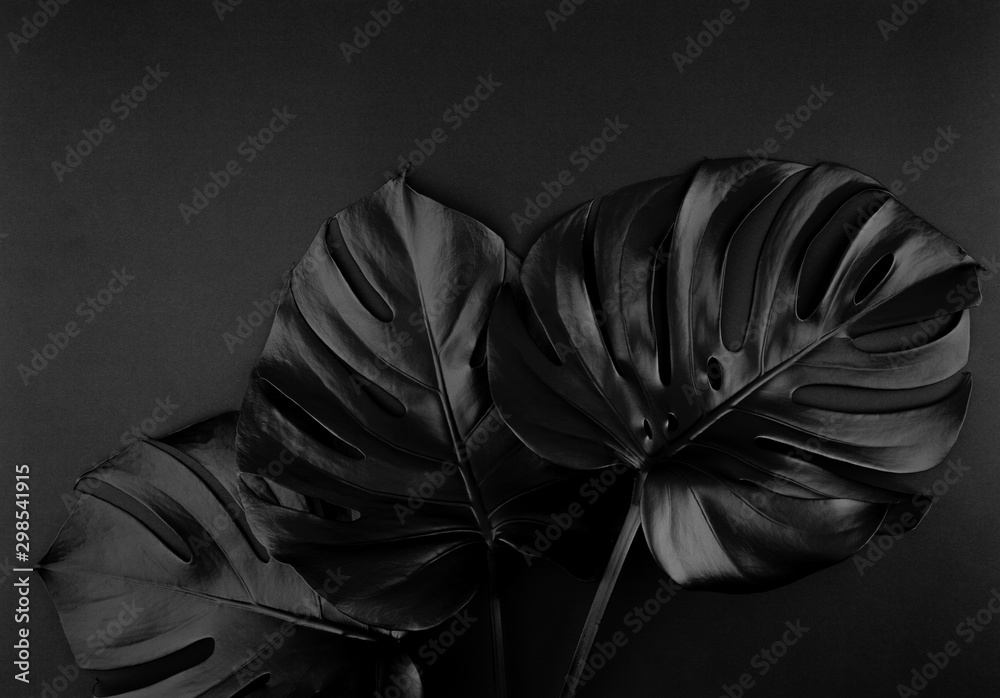 Fototapety, obrazy: Shiny dark natural monstera leaves bouquet. Black Friday tropical banner, poster background template.