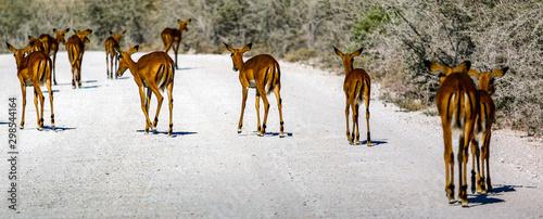 Photo Stands Antelope Gazelle springbock parc national d'etosha en Namibie