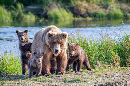 Wild brown bear family looking right at you with mom and three cubs Canvas Print