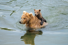 Wild Brown Bear Carrying A You...