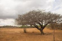 A Tree Under A Grey Sky In A Semiarid Region Of Brazil