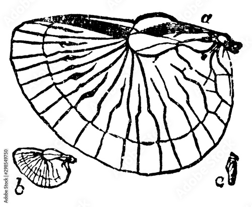 Vászonkép Earwig Wings, vintage illustration.