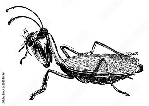Obraz na plátně  Mantis, vintage illustration.