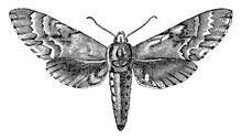 Sphinx Moth, Vintage Illustration.