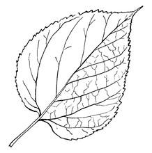 Genus Morus, L. (Mulberry) Vin...