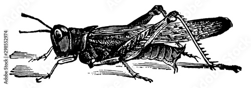 Fotografia, Obraz Rocky Mountain Grasshopper, vintage illustration.