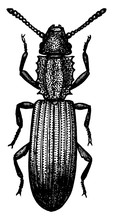 Saw Toothed Grain Beetle, Vint...
