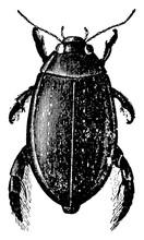 Great Diving Beetle, Vintage Illustration.