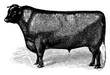 Short Horn Cattle, Vintage Illustration.
