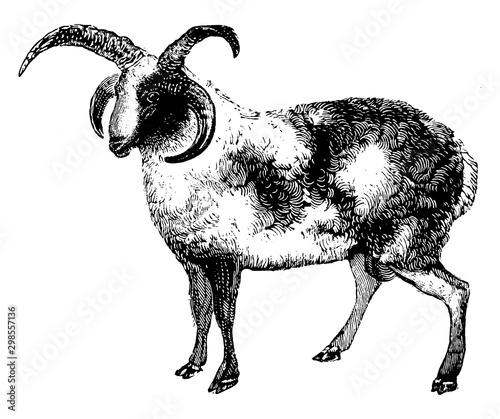 Ram, vintage illustration. Canvas Print