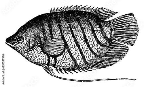 Goramy, vintage illustration. Fototapete