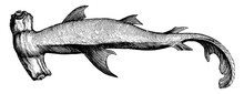 Hammerhead Shark, Vintage Illustration.