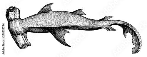 Photo Hammerhead Shark, vintage illustration.