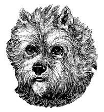 Scottish Terrier, Vintage Illustration.