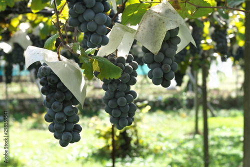 Photo Yamanashi,Japan-October 26, 2019: Muscat Bailey A at a vineyard in Yamanashi pre