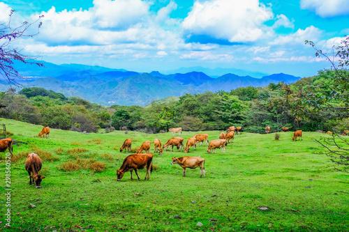 放牧の牛の群れ Wallpaper Mural