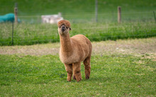 Alpaca With Natural View Background