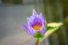 Purple Lotus Flower In The Pond